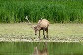 Red deer in water — Stock Photo