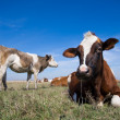 Cows resting — Stock Photo
