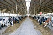 Nowoczesne krowa stabilny — Zdjęcie stockowe