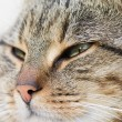Tabby cat head — Stock Photo