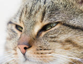 Tabby cat head — Foto Stock
