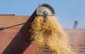 Sklizeň kukuřice — Stock fotografie