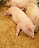 Pigs resting on wood shavings — 图库照片