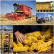 Stock Photo: Corn harvesting
