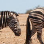 Постер, плакат: Zebras