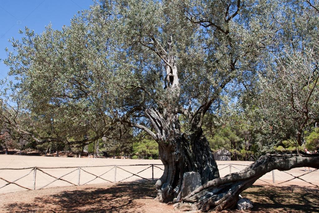 老橄榄树树干和树枝上农场土地– 图库图片