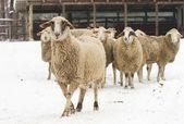 Sheep on snow — Photo