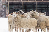 Sheep on snow — Stock Photo