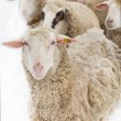 Sheep illness — Stock Photo
