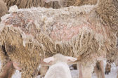 Sheep illness — Foto de Stock