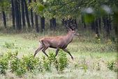 Red deer walking — Stock Photo