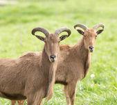 Barbary sheep — Foto Stock