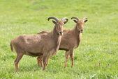 巴巴羊 — 图库照片