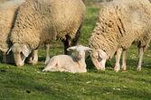 Cordeiro e ovelhas — Foto Stock