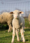 Clumsy lamb — Stock Photo
