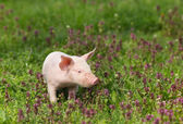 Piglet in flowers — Stock Photo