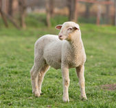 Lamb on grass — Stock Photo