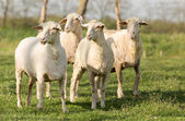 Trimmed sheep — Stock Photo