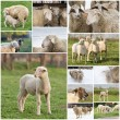 Sheep collage — Stock Photo