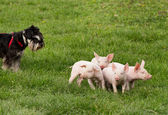Dog with piglets — Stock Photo