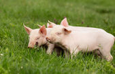 Piglets on grass — Stockfoto