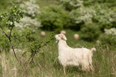 White goat — Stockfoto