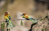 Bee-eaters — Stock Photo
