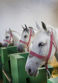 Lipizzaner pferde — Stockfoto