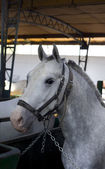 Lipizzan horse — Stock Photo