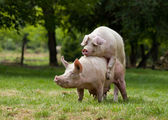 Pigs mating — Stock Photo