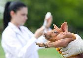 豚のワクチン接種 — ストック写真