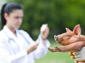 仔猪的免疫接种 — 图库照片