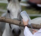 Horse injection — Stock Photo