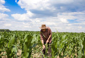 Weeding corn field with hoe — Stock Photo