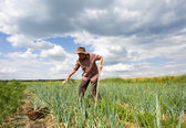 Man in onion field — Stock Photo