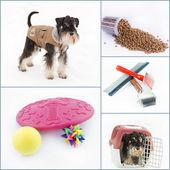 Miniature Schnauzer collage — Foto Stock