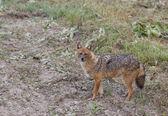 Golden jackal — Stock Photo