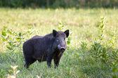 Wildschwein (sus) — Stockfoto