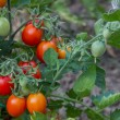 Stock Photo: Growing Tomatoes 2