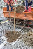 Garden Workers installing a street tree — Stock Photo