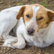 Sleepy dog and lazy dog laying down — Stockfoto