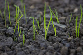 New grass growing from grass seed 2 — Stock Photo