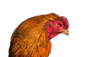 The head of a rooster — Stock Photo