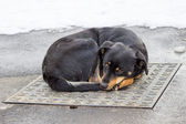 Dog lying on iron man-hole cover in winter time — Stock Photo