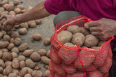 Farmer fill up sacks with potatoes at farmers market — Stockfoto
