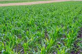Young corn field, corn plots 2 — Foto Stock
