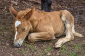 Foal sleeping and secure under his mom leg — Stock Photo