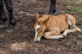 Foal sleeping and secure under his mom legs — Stock Photo