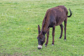 Domestic donkey in a field 2 — Stock Photo