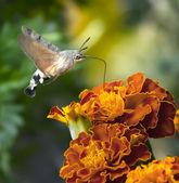 Hummingbird Hawk-Moth insect sucking nectar — Stock Photo